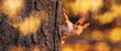 Squirrel in the autumn park. Red gray pet portrait close up