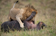 A Lion Eating A Hippo