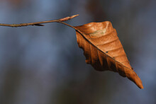 Last Leaves On The Branches Of A Beech Tree In Autumn