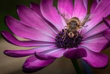 Abeille En Plein Repas Surprise Et étonnée D'être Prise En Photo Sur Une Jolie Fleur Violette
