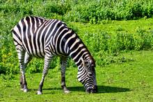 Plains Zebra Known As The Common Or Maneless Zebra, Equus Quagga Borensis Or Equus Burchellii - Kenya