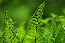 Beautiful Green Background- Plants And Water-green Fern On A Background Of Abstract Leaves - Header, Banner For Nature, Outdoor Adventure
