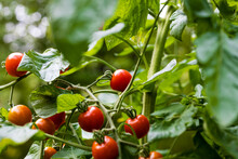 Sweet 100 Tomato Cultivar Producing Long Fruit-bearing Stems Holding Cherry Tomatoes Throughout The Growing Season. Selective Focus, Background And Foreground Blur.