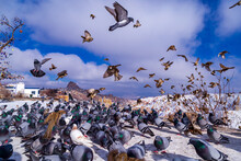 Beautiful Landscape Of Pigeons Are Flying In Cappadocia Pigeon Valley, Uchisar, Turkey. Flock Of Fluffy Pigeons On White Snow In Pigeon Valley In Winter. Snowy Landscape