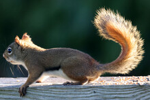 Female Red Squirrel, Backyard Bully, On Fence Looking For Food On Autumn Morning, Backlit With Beautiful Tail