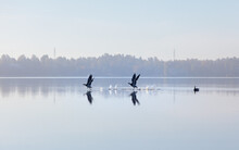 Two Barnacle Geese, Branta Leucopsis, Running On Water.  Birds Taking Off In Autumn. Calm Water With Reflections.