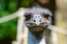 The Emu (Dromaius Novaehollandiae) Is The Second-largest Living Bird By Height, After Its Ratite Relative, The Ostrich.