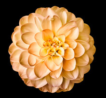 Orange  Flower Dahlia  Isolated On The Black Background . Closeup.  For Design. Dahlia.