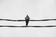Pigeon Sits On The Wires. Parallel Wires. Black And White Vintage Photography