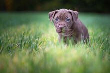 Portrait Of A Small Purebred American Pit Bull Terrier Puppy On The Grass In The Park.