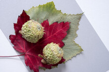 Leaves And Bur Oak Acorns