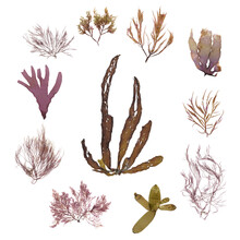 This Is A Collection Of Red Seaweed.
