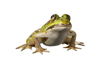 Green Frog  Isolated On White Background Keying. 3D Rendering