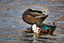 Duck Stretching In The Water