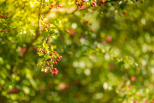 Seasonal Bush With Lots Of Red Berries On Branches, Autumnal Background. Close-up Colorful Autumn Wild Bushes With Red Berries In The Park; Shallow Depth Of Field