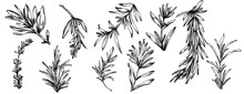 Rosemary Branches And Leaves Isolated Vector Hand Drawn Sketch. Food Illustration. Vintage Style. The Best For Design Logo, Menu, Label, Icon, Stamp.
