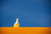 Seagull On Orange Wall