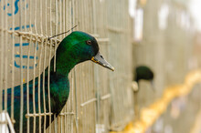 Green Headed Ducks Poke Their Heads Out Of A Cage At A Poultry Exhibition