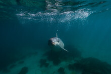Undersea Portrait Of Dolphin Looking Straight At Camera