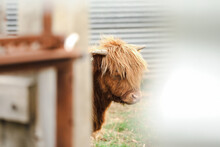 Beautiful Young Highland Cow Steer In Cattle Yards
