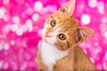 Playful And Funny Cute Red Kitten On Pink Background