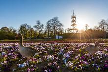 Germany, Baden-Wurttemberg, Stuttgart, Geese Standing In Springtime Flowerbed At Sunrise