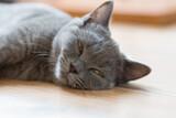 Fototapeta Zwierzęta - Kot brytyjski niebieski, młody szary kot z pomarańczowymi oczami leży na podłodze
