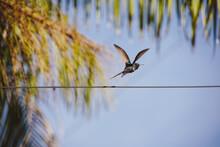 Eupetomena Macroura Hummingbir In Nature