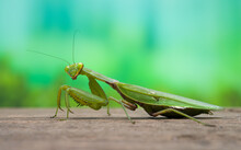 A Close Up View Of A Praying Mantis On A Wood Table In The Spring. Natural Background Concept