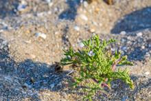 Sea Mustard Ordinary, Sedum Villosum