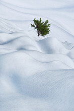 Fir Tree Growing In Snowy Valley