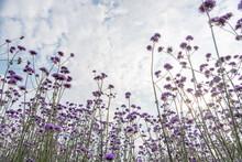 Purple Verbena In The Field