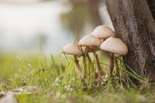 Mushrooms In The Raining. Rainy Weather Season And Mushrooms. Nature Concept.