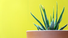 Succulent In A Clay Pot Isolated On A Yellow Background   Isolated Potted Plant