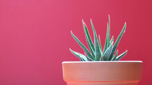 Succulent In A Clay Pot Isolated On A Red Background | Isolated Potted Plant