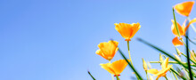 Yellow Flowers Of The Eschscholzia Californica On A Blue Sky Background.Floral Natural Background.Summer Concept.Copy Space For Text.