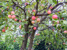 Red Apples Ripening On The Tree In Late Summer