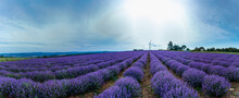 Lavender Field With Blooming Purple Bushes Grown For Cosmetic Purposes Near Burgas, Bulgaria. Wind Turbines In The Background.