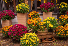 Autumn Concept With Chrysanthemums And Pumpkins Outdoor