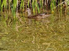 Mallard Duck Swimming In The River Near The Thickets Of Calamus