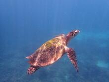 スリランカ ピジョン島国立公園の海亀