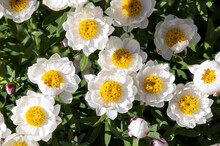 Close Up View Of White Daisies In A Clump Of Flowers On A Sunny Day
