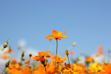 Soft Focus Beautiful Cosmos Flowers White Blurred Blue Sky Background.