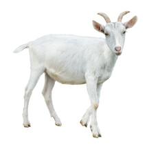 White Little Goat Isolated. Goat On White Background.