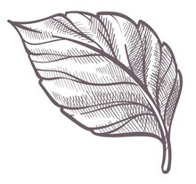 Leaf Plant, Colorless Foliage Botany Of Forest