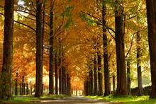 黄金に輝く金沢太陽が丘の紅葉したメタセコイア並木道