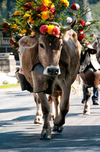Swiss  Cows Decorated With Flowers And Huge Bells, Desalpes Ceremony - Cows Coming Back From High Pastures For The Winter, Charmey, Fribourg Canton, Freiburg Canton, Switzerland, Europe