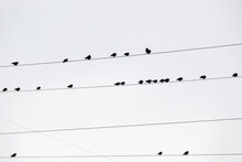 Pájaros En Los Cables