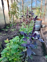 Fresh Purple Basil Grows In The Garden.