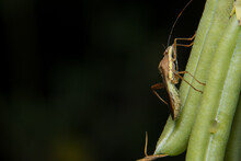 Closeup Photo Of Brown Assassin Bugs On Leaf
